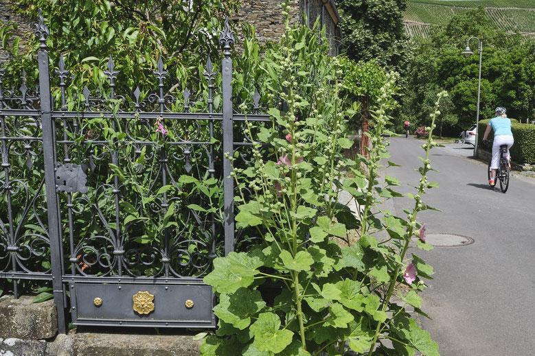 Blick zur Mosel. Davor die Nussbaumallee vom Vorgarten aus  gesehen.