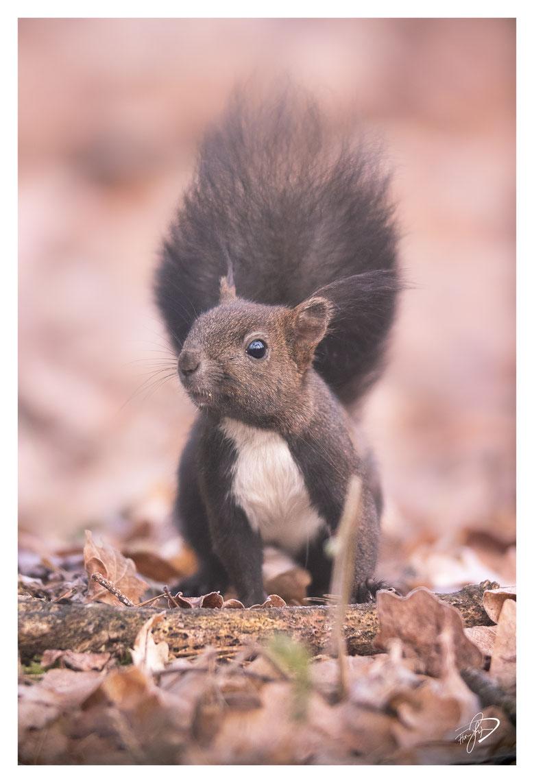 Aus dem Hide heraus fotografiert. Das Baby-Eichhörnchen hatte keine 8 Meter von mir entfernt das Laub durchwühlt. Canon EOS M6 MKII / 500mm / f4.5 / 1/250 / ISO1600