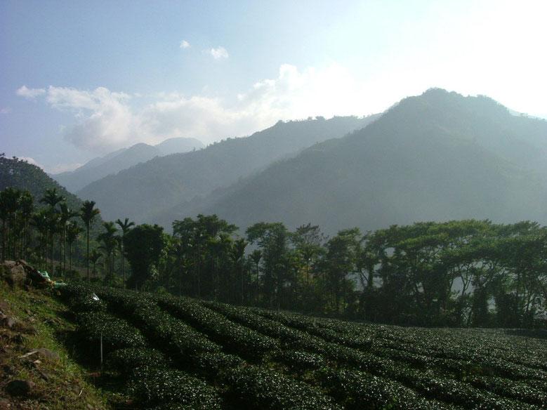 羽唐阿里山茶園