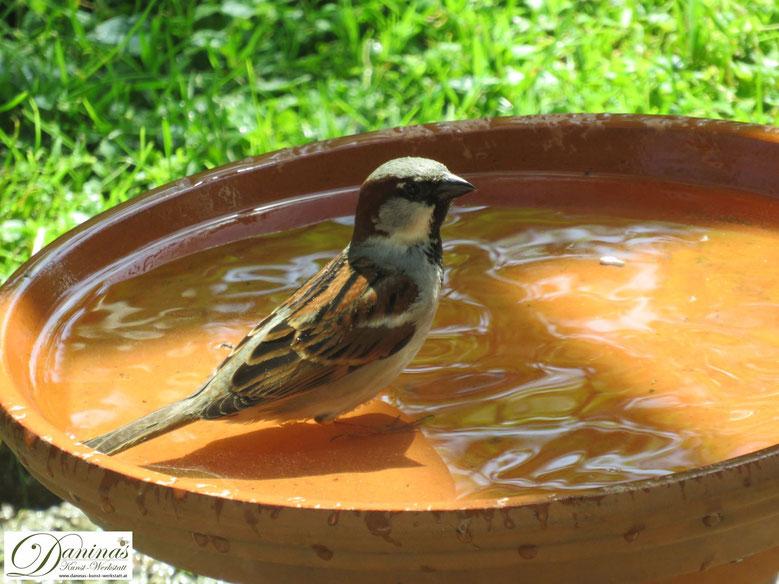Durstiges Sperling Männchen besucht die Vogeltränke