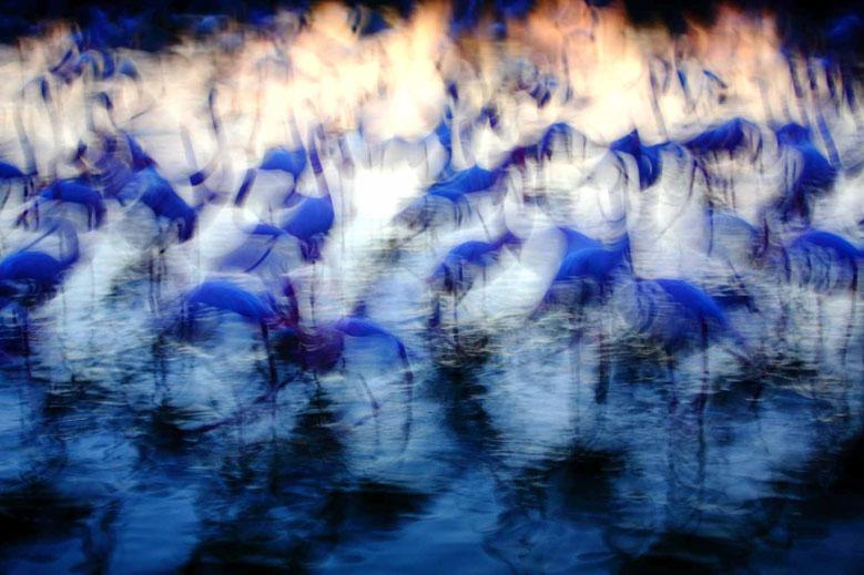 Festival photo de Moncoutant - Flamingo