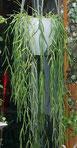 Hoya linearis Zimmerpflanzen kaufen Wien