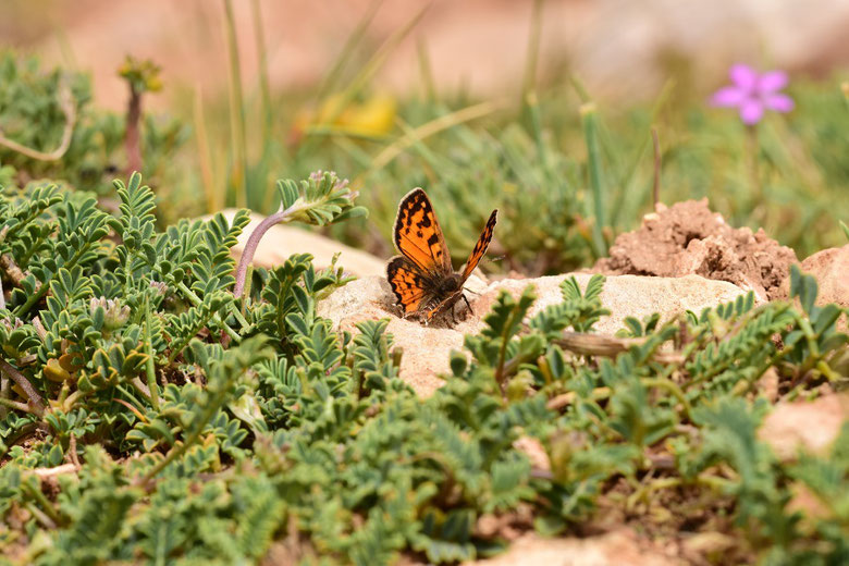 Réserve de Papillons d'Inifife, Moyen Atlas central, 2017, ©Frédérique Courtin-Tarrier