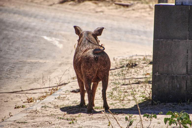 Warzenschwein, Pumba, Afrika
