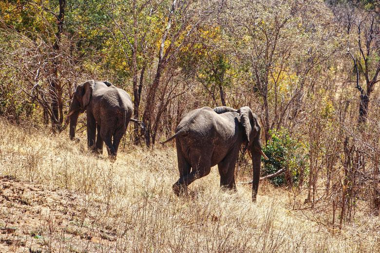 Elefanten, Pirschfahrt, Simbabwe, Safari