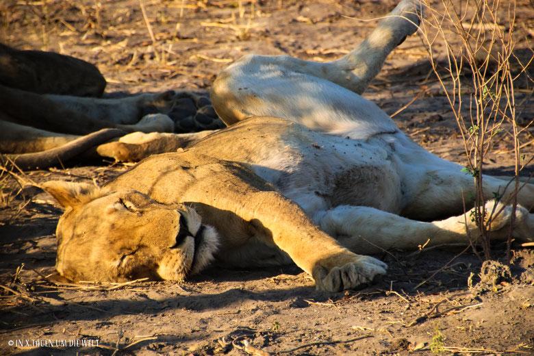 Löwe, faule Katze, Pirschfahrt, Game Drive, Chobe Nationalpark, Botswana, Safari