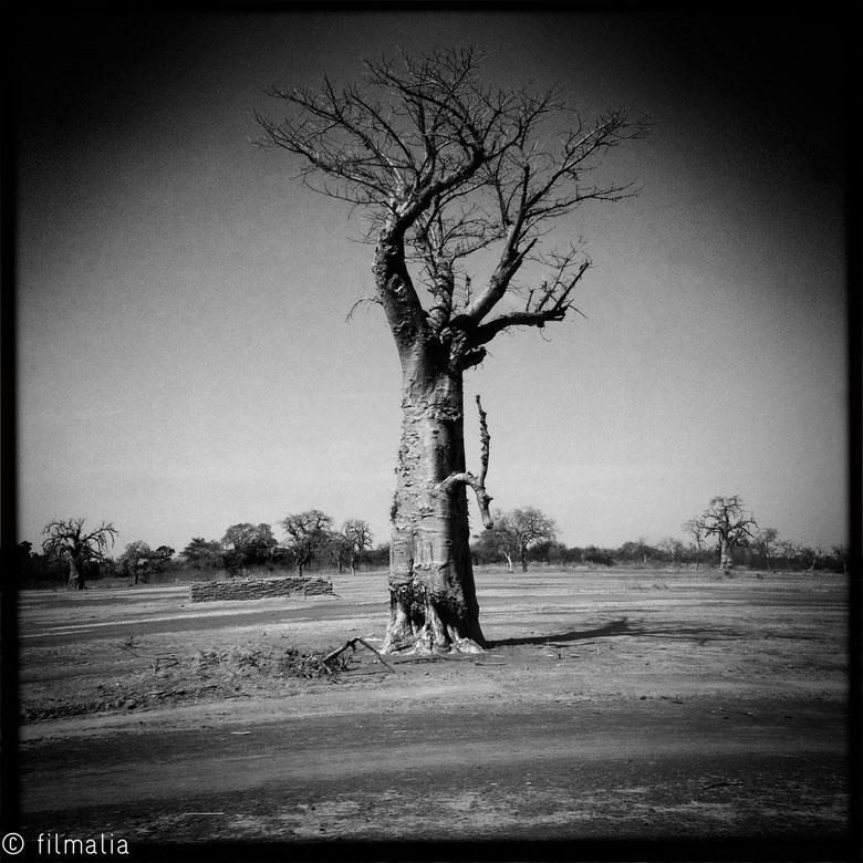 Baobab, Malí, arboles sagrados, Africa