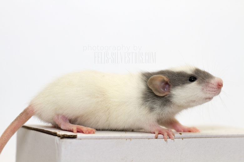 Dumbo-Ratte