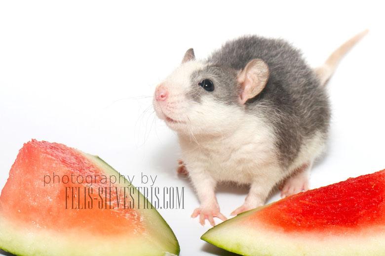 junge Rex-Ratte