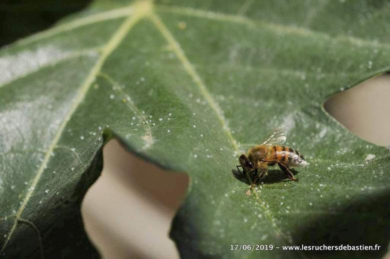 Figuier, abeille, miellat et psylles