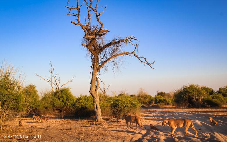 Löwe, Löwenfamilie, Pirschfahrt, Game Drive, Chobe Nationalpark, Botswana, Safari, Jungtier