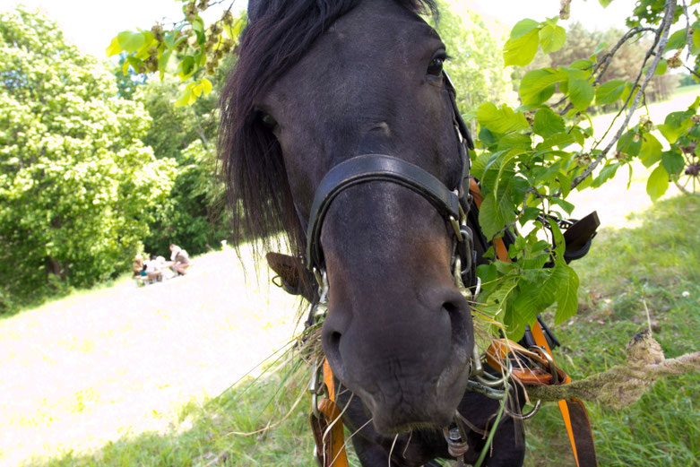 Žirgas Kipšas kremta lapus