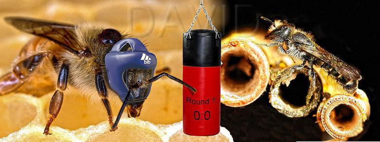 Konflikt Konkurrenz Honigbiene Wildbiene Fotomontage honwy bee wild bee competition rivalry conflict photomontage