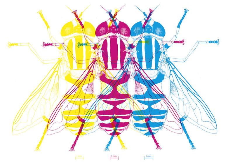 design illustration melanie suter fliege cyan schwarz magenta yellow gelb cmyk wissenschaftliche illustration biologie insekt