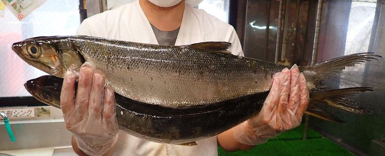カライワシの寿司