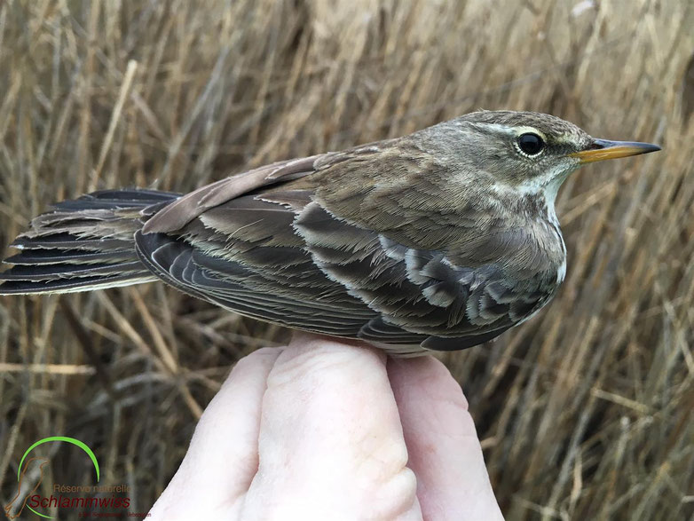 Summary of the water pipit ringing activity on the 30.12.2018