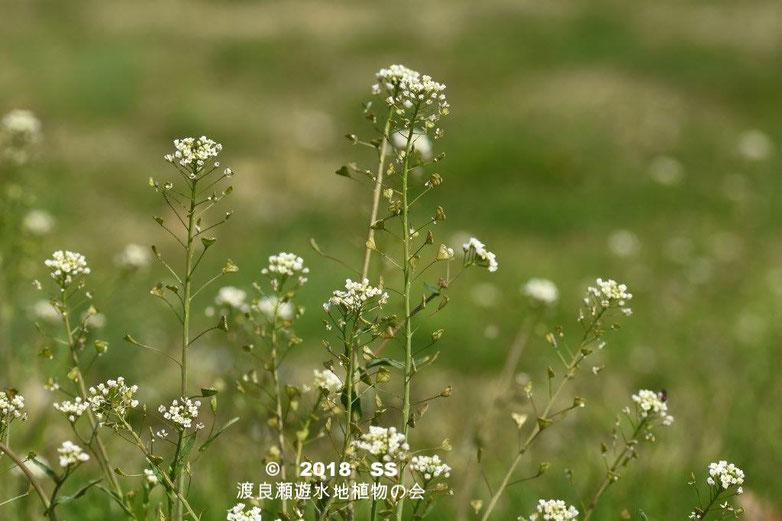 渡良瀬遊水地に生育しているナズナの全体画像と説明文書