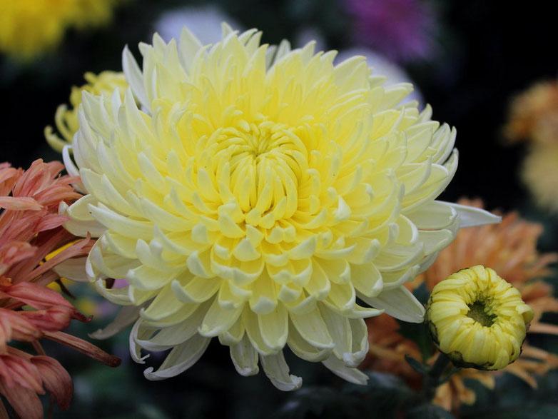 Картинки хризантемы желтые анимация верещака выпал