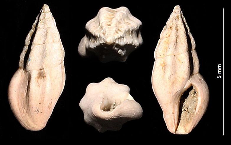 Haedropleura cfr. septangularis,  Macchia della Turchina (Monteromano, VT)
