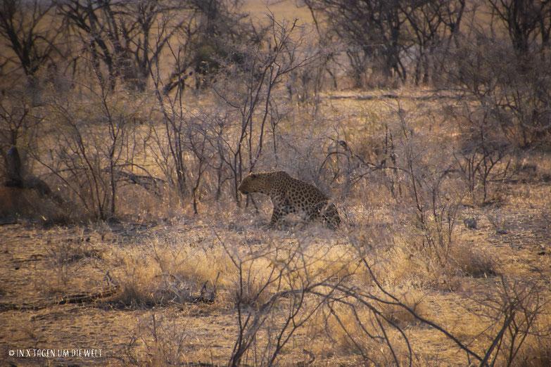 Leopard, Etosha, Namibia, Afrika, Safari, Reiseblog