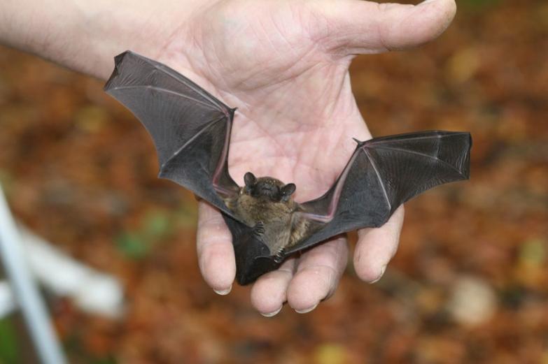Fledermausexperte Thomas Bormann mit einer Fledermaus
