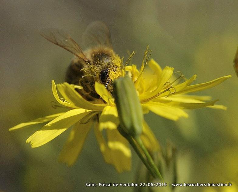 Fleur Lapsana communis & insecte Apis mellifera, Cévennes, Lozère