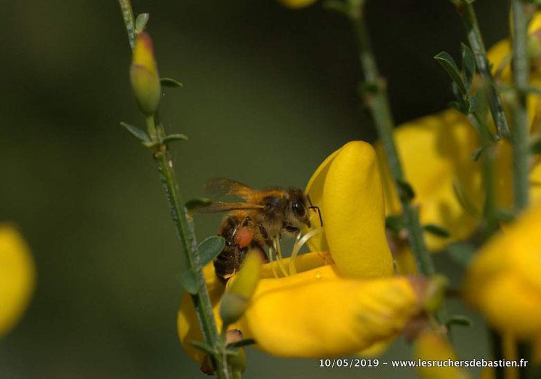 Fleur du Genêt à balais et apis mellifera butinant en Cevennes