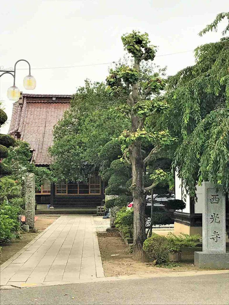 鏡石町 西光寺の杉戸絵と樹齢250年のたらよう