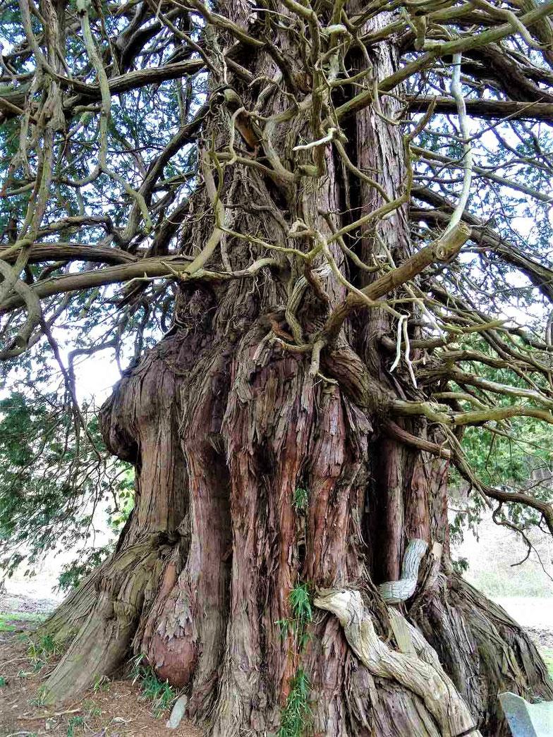 こんもりとしげる枝の中に入ると、ごつごつとした樹木の本体があらわれます。