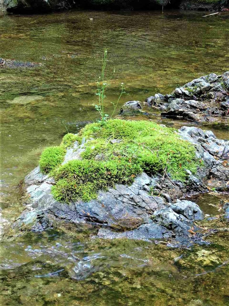 鹿の又川渓谷には苔がうつくしい川辺があります