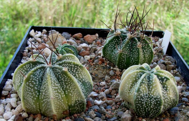 Astrophytum X05 variegat