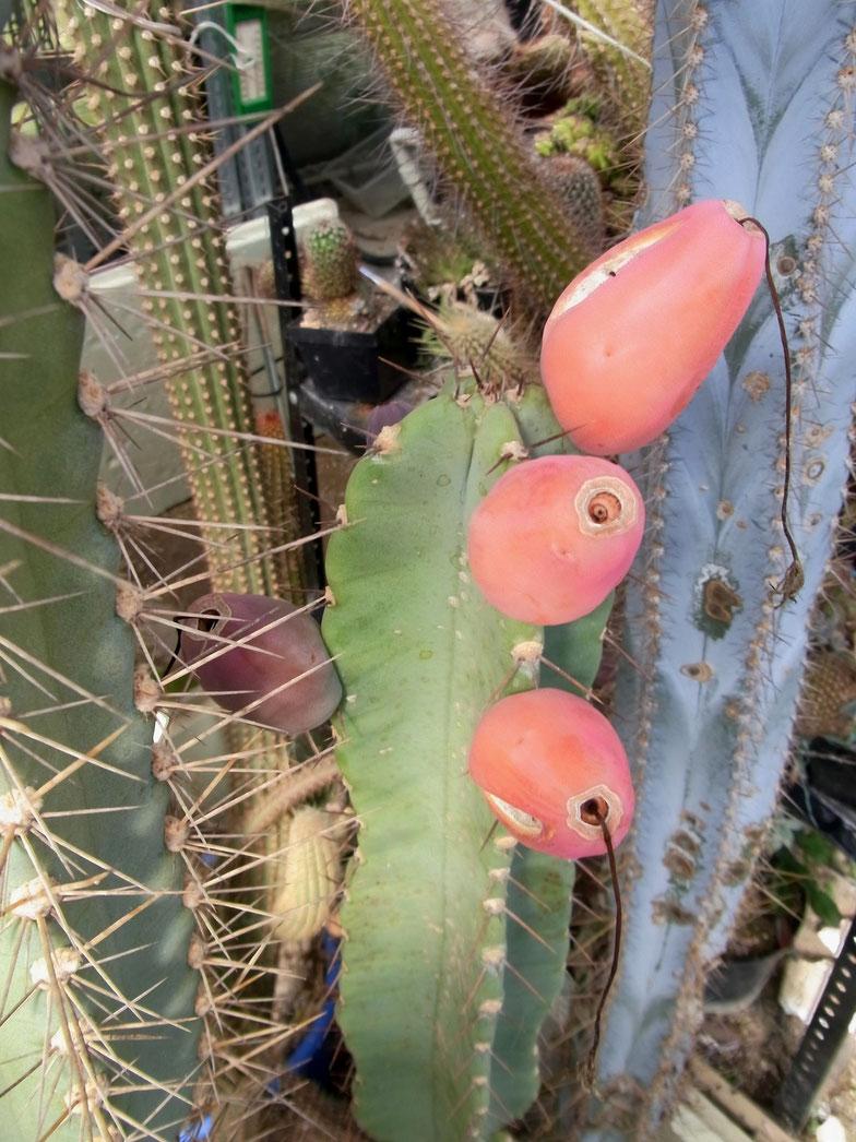 Cereus hildemannianus