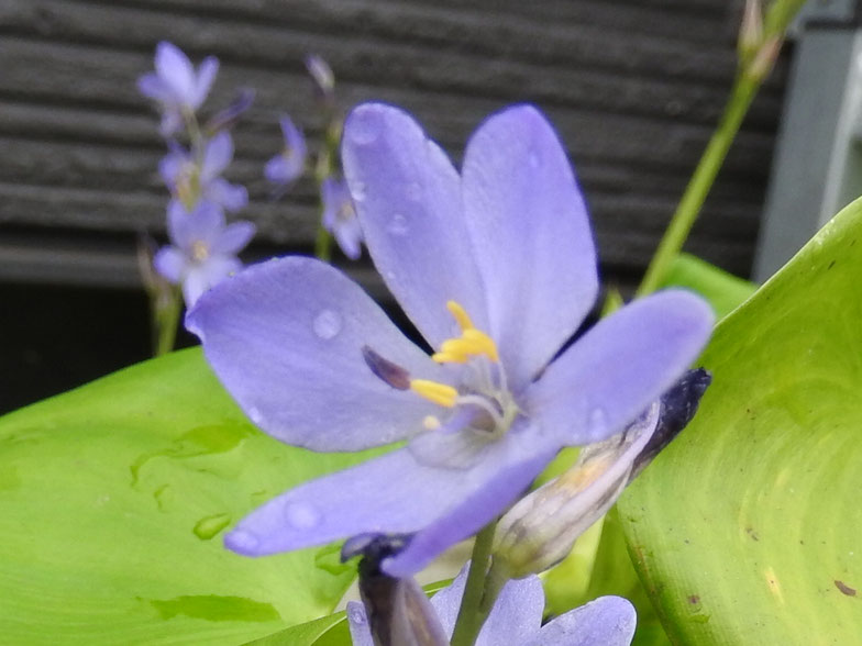 渡良瀬遊水地に生育しているミズアオイ(花)の画像