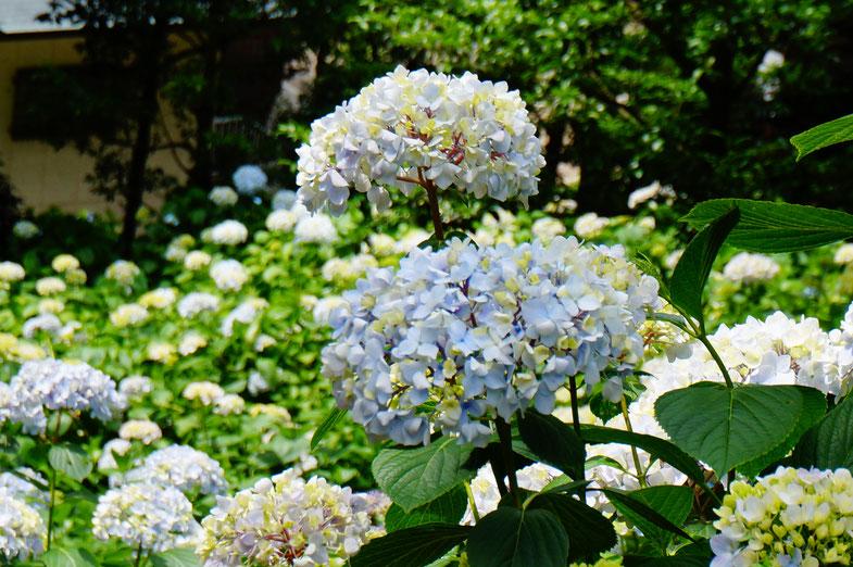 白色、水色や青いあじさいが山の斜面一面に植えられています。
