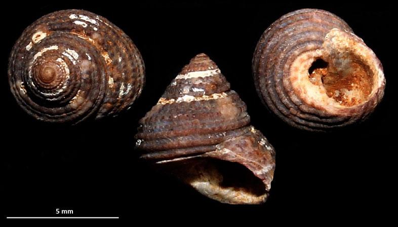 Clanculus crociatus, Sant'Agostino (Civitavecchia, RM)
