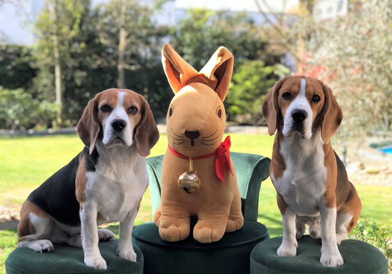 Little King Arthur, Bagio Boss Gintarine Fortuna * Lord James *, Czarnowsky , Beagle, Beagle, Beagle, Beagle, Beagle