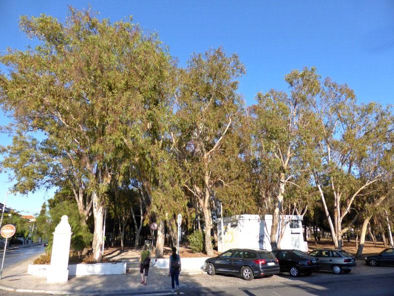 Gum tree forest in Faro, Portugal