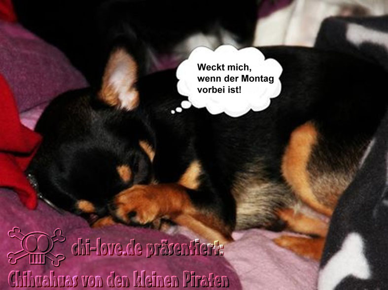 """Piraten-Cartoon auf Chi-Love.de präsentiert: Chihuahuas von den kleinen Piraten """"Weckt mich, wenn der Montag vorbei ist""""."""