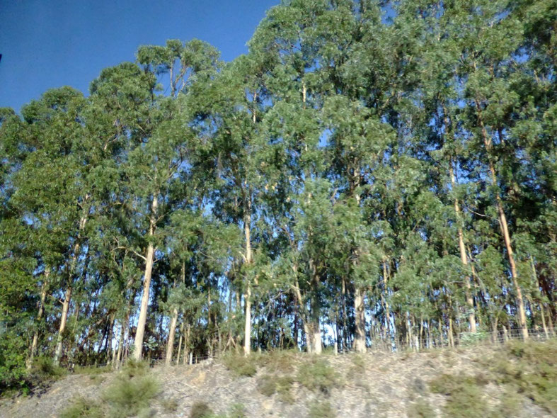 Gum trees along the motorway