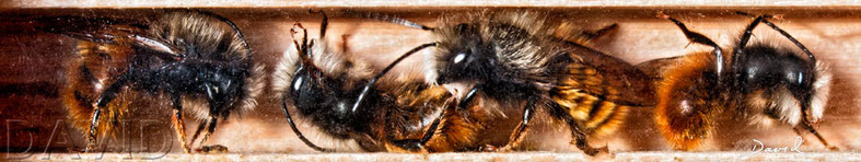 Gehörnte Mauerbiene Osmia cornuta Männchen Niströhre