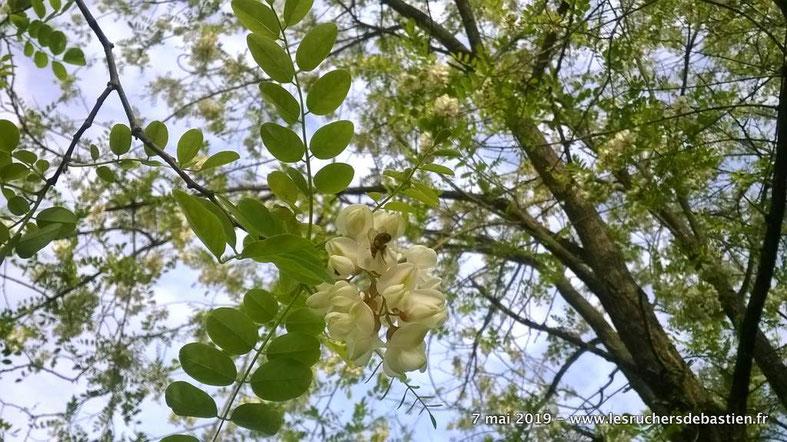 apis mellifera butinant fleurs du Robinier faux acacia Cévennes