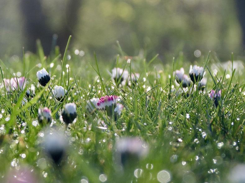 Gänseblümchen mit Tautropfen