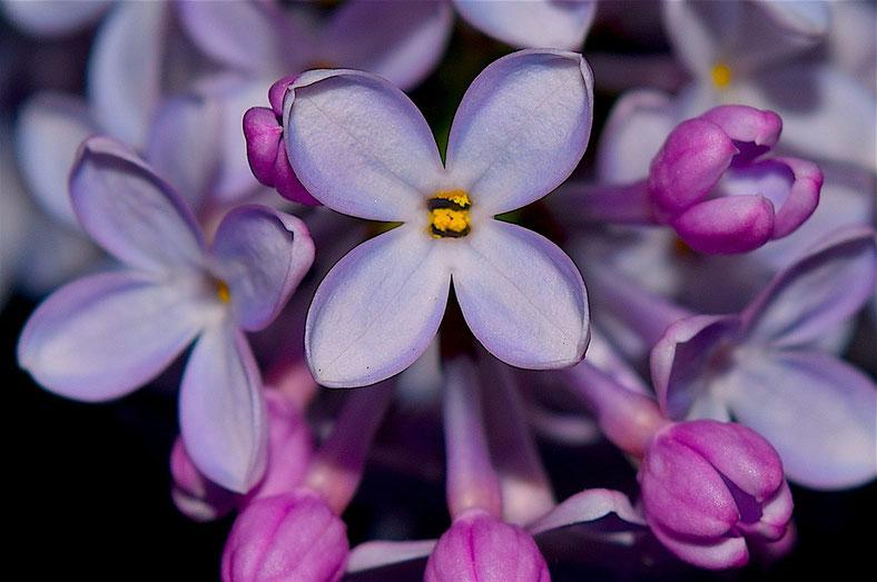 Lieber glücklich mit Farben - Flieder (Fotoquelle: pixabay.com @bones64)