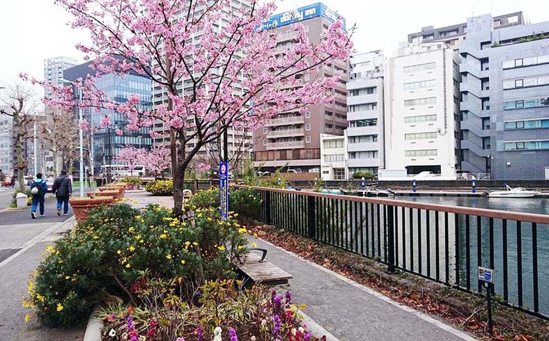 東京 中央区 鉄砲洲通り 桜