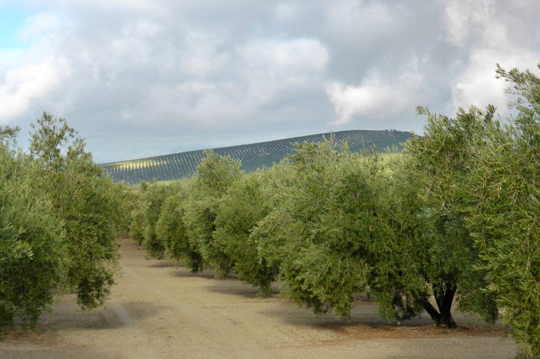 Olive groves to the horizion