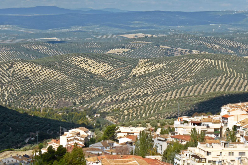 Olive grove pattern