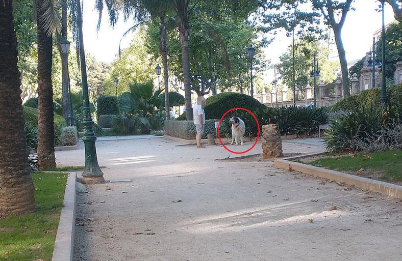 Perros 2,  en parques y jardines  de València  sin correa sueltos y sin bozal, heces sin recoger, suciedad y peligro para la salud.