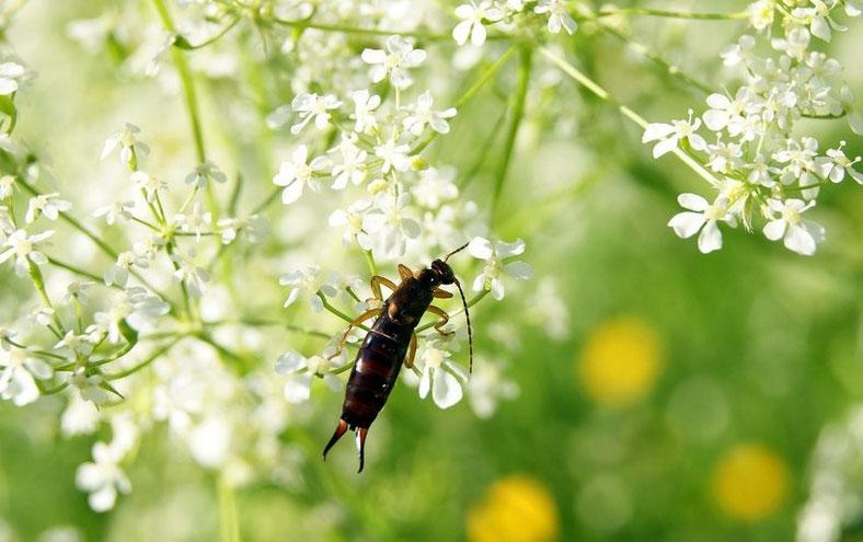 Nützliche Insekten: Der Ohrenkneifer