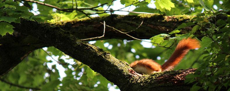 Eichhörnchen, Limmatauen 2014