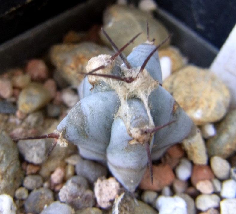 Echinocereus platyacanthus-Sämling